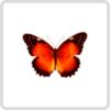 Cethosia Biblis – Златоглазка Библис