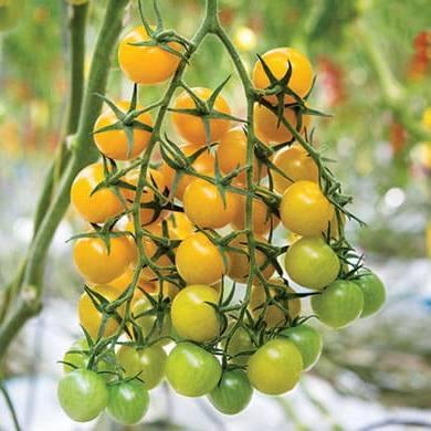 Томат СВ 0948 ТС F1 семена томата индетерминантного (Seminis / Семинис) Томат_SV0948TS_.jpg