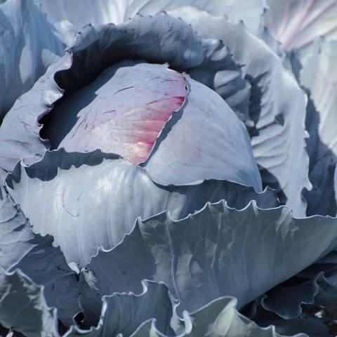 Фотография Капуста краснокочанная / 1 кг купить в магазине Афлора