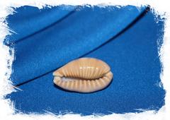 Ципрея дракаена (Erronea caurica dracaena)