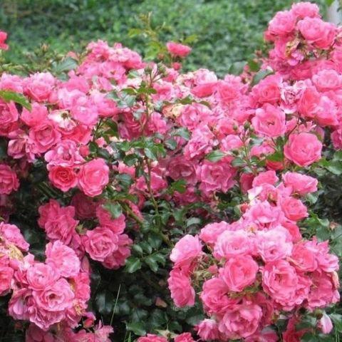 Роза почвопокровная Хайдетраум С6