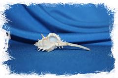 Ракушка Vokesimurex kiiensis, Haustellum kiiensis, Murex kiiensis