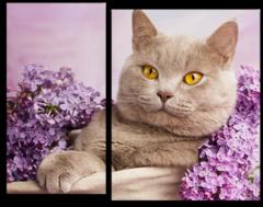 """Модульная картина """"Лиловый британский кот"""""""