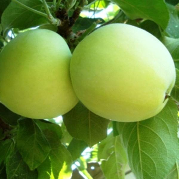 Яблоня летняя Белый налив (2-летняя) п/ карл. ЗКС
