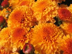 Хризантема кустовая оранжевая
