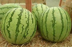 Регус F1 семена арбуза (Sakata / Саката)