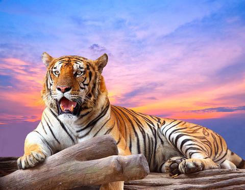 Алмазная Мозаика 5D 40x50 Тигр отдыхает на закате