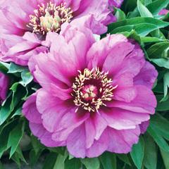 Пион ITOH Morning Lilac