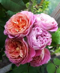 Centenaire de l'Ha-les-roses