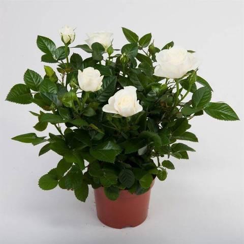 Роза Патио белая Перл