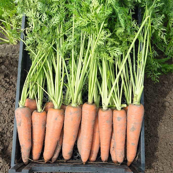 Курода/Шантане Канада F1 семена моркови курода/шантане (Bejo / Бейо) канада_1.jpg