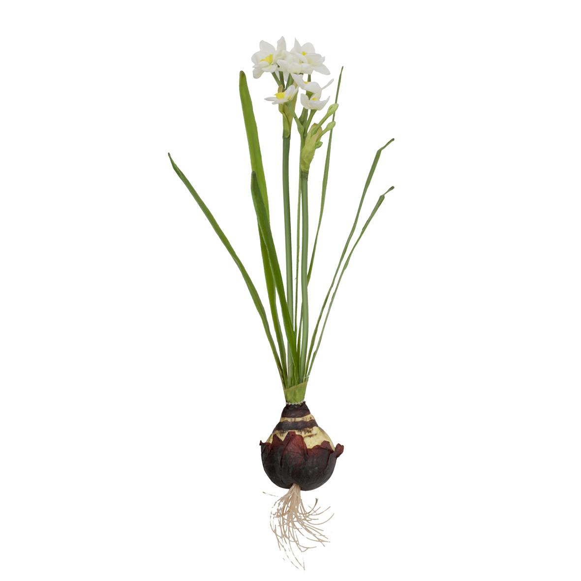 Нарцисс  с луковицей