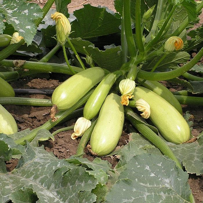 Кабачок Искандер F1 семена кабачка (Seminis / Семинис) искандер.jpg