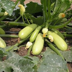 Искандер F1 семена кабачка (Seminis / Семинис)