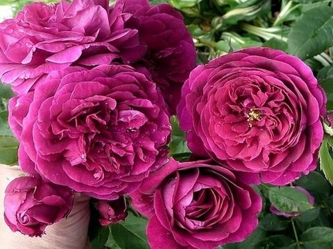 Роза английская парковая Принц (в тубе)