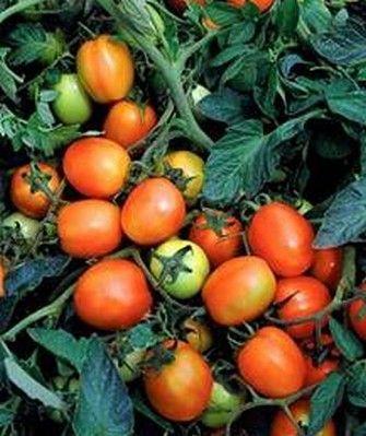 Томат Дуэл Плюс F1 семена томата детерминантного (Seminis / Семинис) ДУЭЛ_ПЛЮС_F1__Dual_plus_F1__семена_овощей_оптом.jpg
