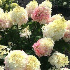 """Гортензия метельчатая Литл Блоссом """"Little Blossom"""""""
