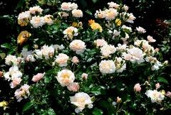 Twiggy Rose (Твиггис Роуз)