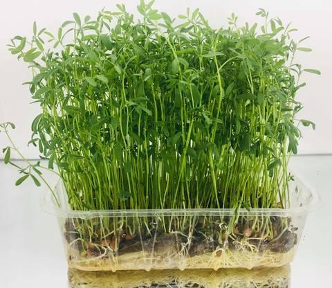 Зелень чечевицы