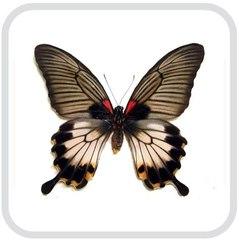 Papilio Lowi – Папирусник Лови