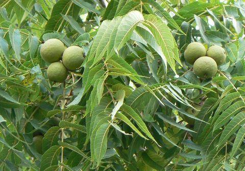 Чёрный орех плоды
