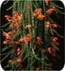 Колумнея, Microphylla