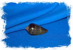 Раковина Conus franciscanus