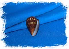 Conus (Lautoconus) guinaicus franciscanus