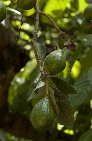 Масло авокадо. (рафинированное)