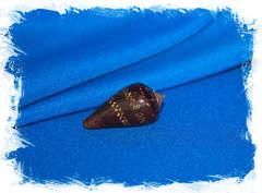 Ракушка Conus guinaicus