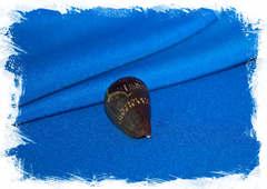 Ракушка Conus franciscanus