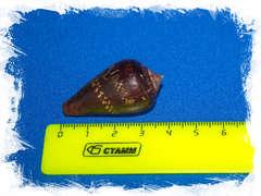 Морская ракушка Conus ventricosus