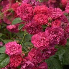 Starlet Rose Lola