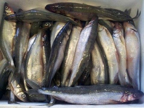 Корюшка свежая ОТБОРНАЯ с икрой (Финский залив), вылов май 2021 г  (кг)