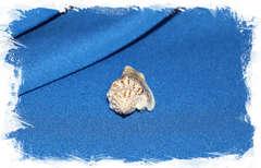 Стромбус вариабилис (Strombus variabilis) коллекц.