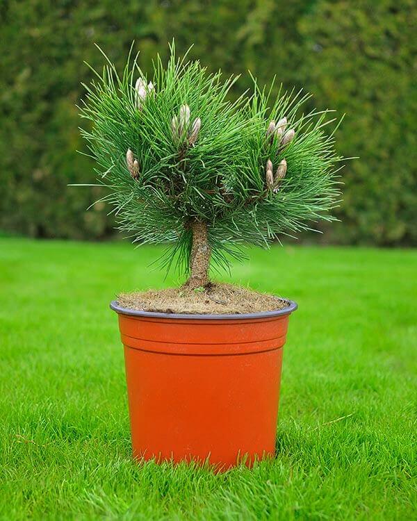 Сосна чёрная Хельга (Pinus nigra Helga)