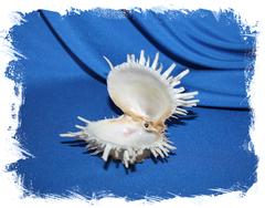 Spondylus albibarbatus, Spondylus echinatus