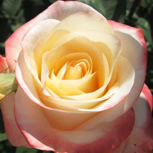 Роза чайно-гибридная Белла Перл