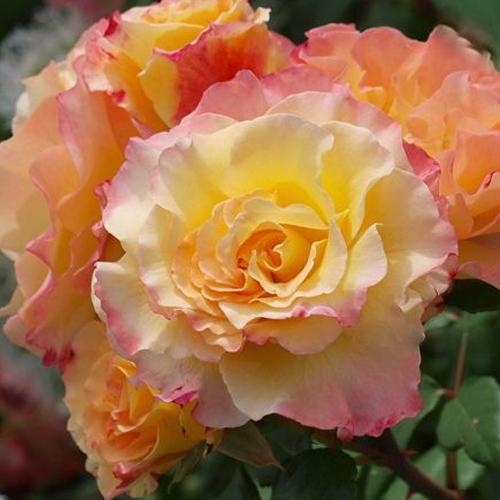 Роза чайно-гибридная Акварель