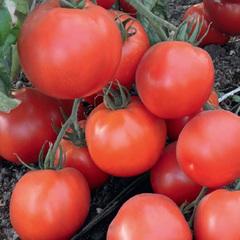 Премьера семена томата детерминантного (Гавриш)