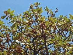 Ши дерево