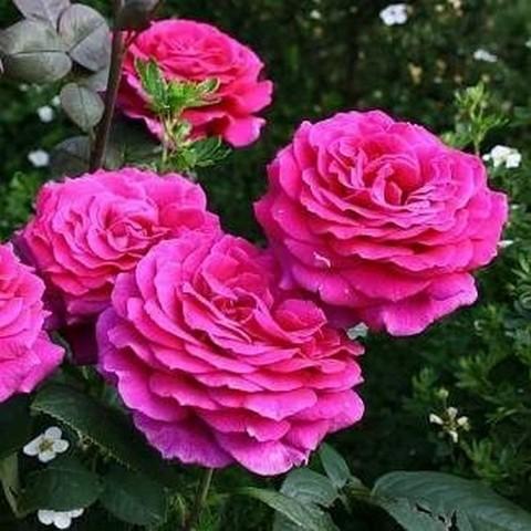 Роза чайно-гибридная Биг Перпл С3