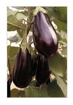 Баклажан Бенеция F1 семена баклажана (Enza Zaden / Энза Заден) бенец.png