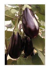 Бенеция F1 семена баклажана (Enza Zaden / Энза Заден)