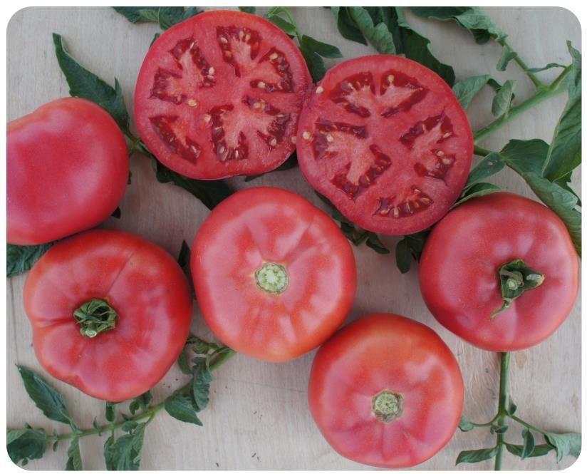 Томат Пинк Буш F1 семена томата детерминантного (Sakata / Саката) ПИНК_БУШ_семена_овощей_оптом.jpg