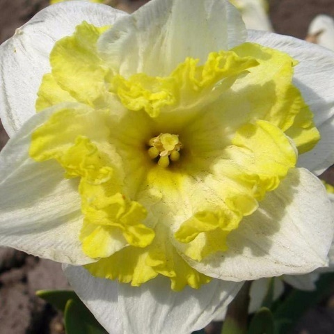 Нарцисс Фрилез орхидный 5 шт