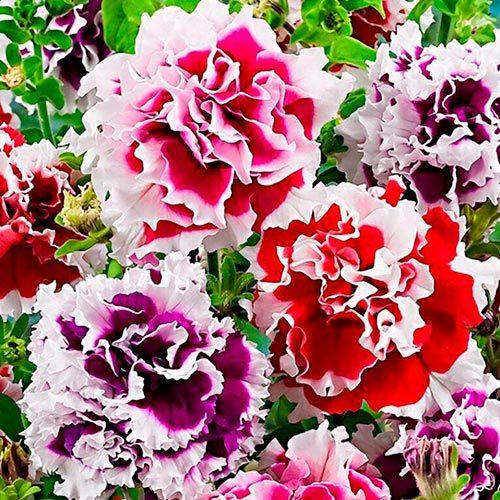 Семена цветов Семена цветов Петуния махровая Пируэтт Микс, PanAmerican Seed, 10 шт. Петуния-махровая-Пируэтт-Микс.jpg