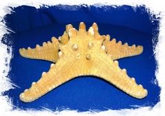 Филиппинская Морская Звезда 17 - 20 см