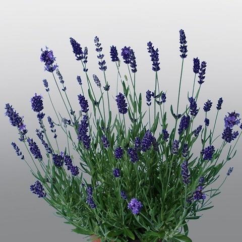 Лаванда узколистная Hidcote Promise (violet-blue)