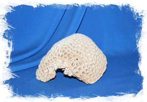 Мозговидный коралл 13-17 см. (13 см.)